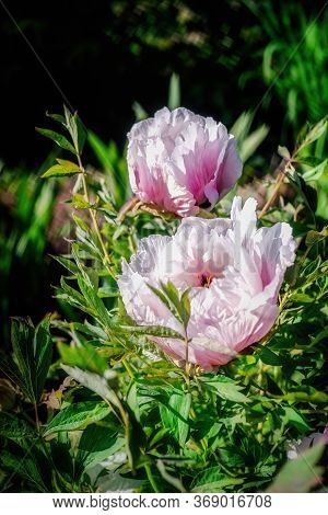 Pink Blossoms Of Peony On Sunrise In Spring. Close Up.