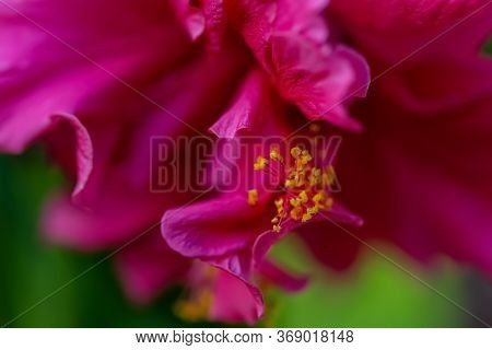 Macro Red Flower Hibiscus With Yellow Stamens And Pollen And Blurred Natural Green Background. Art P