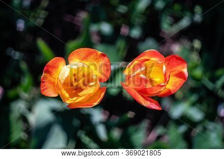 Two Tulip Blossoms In Spring. Close Up. Top View.
