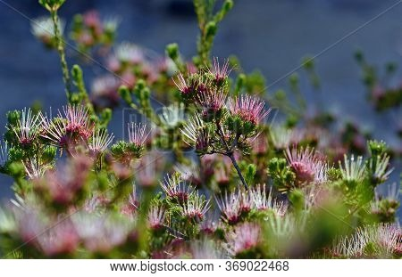 Back Lit Red, Pink And White Spiky Flowers Of The Australian Native Clustered Scent Myrtle, Darwinia