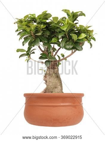 Ficus Ginseng small bonsai tree in clay pot