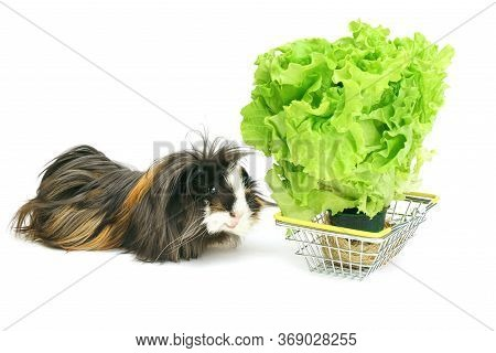 Funny Shaggy Sheba Guinea Pig Eats From A Shopping Basket Filled With Purchased Greens On A White Ba