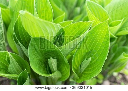 Hosta In Garden. Hosta - Genus Of Perennial Herbaceous Plants Of The Family Green. Beautiful Bright