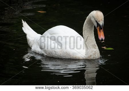 A Graceful White Swan Swimming On A Lake With Dark Water. The Swan Is Reflected In The Water And Wat