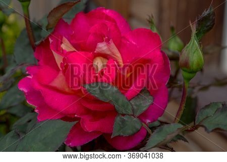 Floral Background Beautiful Pink Petals Of An Opened Rose. Selective Focus. Rose With Many Petals. S