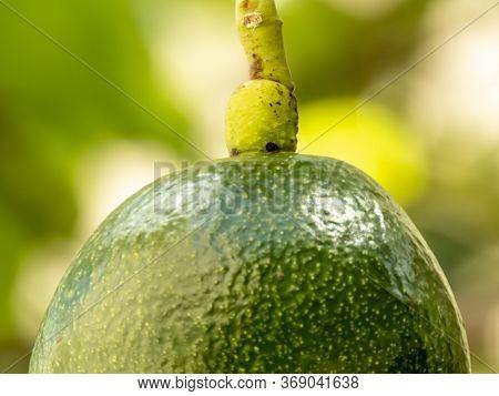 Avocado Tree In Sunny Day In Brazil, Brazilian Tropical Fruit