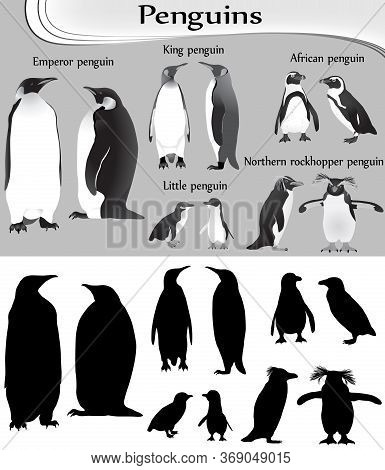 Collection Of Different Species Of Penguins In Black-white Image And Silhouette: Emperor, King, Litt
