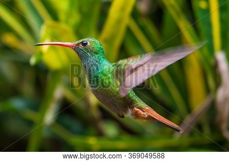 Green Violet-ear (colibri Thalassinus) Hummingbird In Flight Isolated On A Green Background In Costa