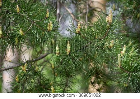 Young Sprigs Of Pine With Green Cones. In The Spring Forest.