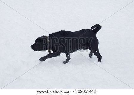 Black Labrador Retriever Puppy Is Running On A White Snow In The Winter Park. Pet Animals.