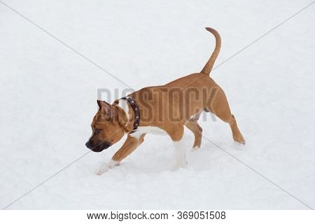 American Staffordshire Terrier Puppy Is Running On A White Snow In The Winter Park. Pet Animals.