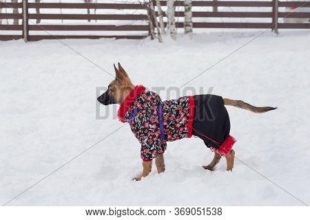 Belgian Sheepdog Puppy Is Standing In The Winter Park. Pet Animals.