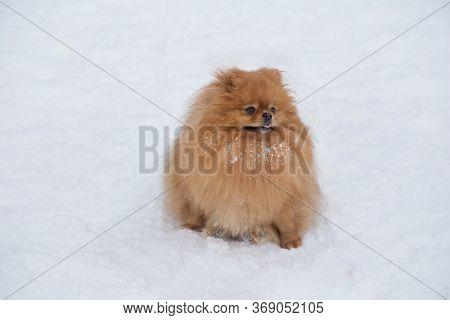 Cute Pomeranian Spitz Puppy Is Standing On A White Snow In The Winter Park. Deutscher Spitz Or Zwerg