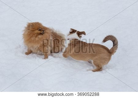 Pomeranian Spitz Puppy And Multibred Dog Puppy Are Playing On A White Snow In The Winter Park.