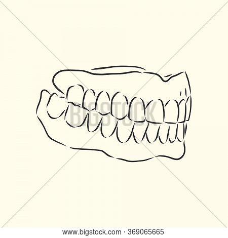 Jaw Vector Sketch. Dental Jaw, Vector Sketch Illustration