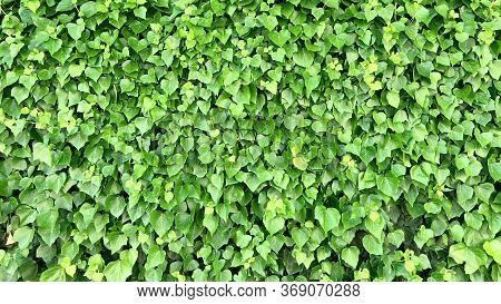 Landscape And Landscaping With Ivy Species ;endemic
