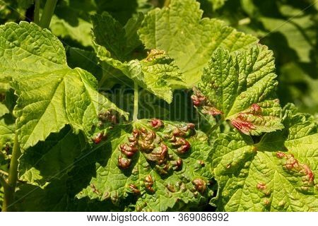 Disease Of Red And White Currants, Infection With Gallic Aphids Anthracnose.