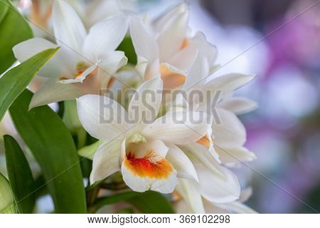Orchid Flower In Orchid Garden At Winter Or Spring Day. Dendrobium Orchidaceae.
