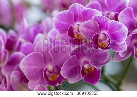 Orchid Flower In Orchid Garden At Winter Or Spring Day. Phalaenopsis Orchidaceae.