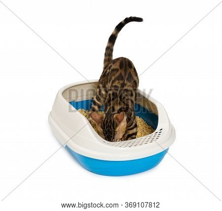 Kitten Using Litter Box With Wood Pellet For Pooping Or Urinate. Bengal Kitten, 4 Months Old, In Pla