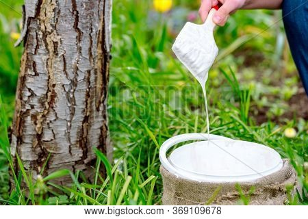 Whitewashing Of A Young Apple Tree In Early Spring On A Sunny Day. Protect It From Insects And Funga