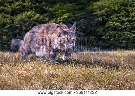 Maine Coon Cat Creeps Hunts. Playing Stealthy Cat Prowling On The Yellow, Dried Grass In The Autumn