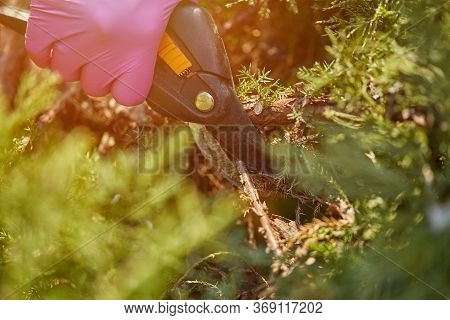 Hands Of Worker In Pink Gloves Are Trimming A Twig Of Overgrown Green Shrub Using Pruning Shears. Ga