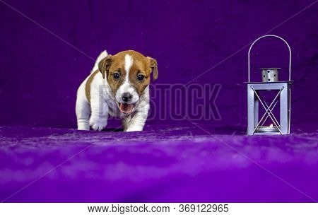 Cheerful Puppy Bitch Jack Russell Terrier Will Run Forward On A Purple Bedspread Next To A Gray Flas