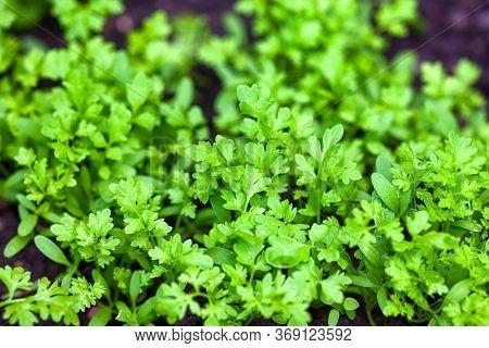 Green Young Organic Garden Cress Grows Outdoors. Close-up