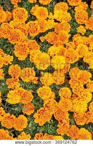 Healing Herbs. Blooming Texture. Beautiful Orange Red Marigold Flowers Leaves Background Pattern. Ma