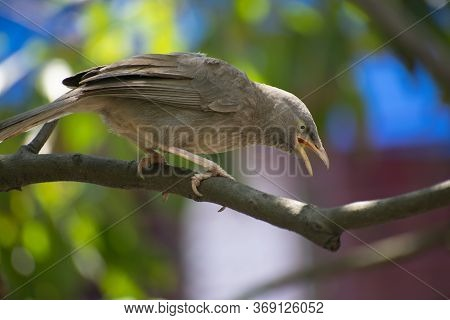 The Jungle Babbler Is A Member Of The Family Leiothrichidae Found In The Indian Subcontinent