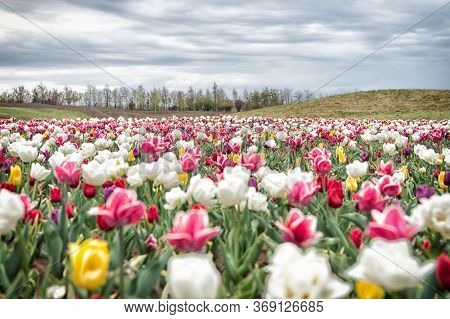 Spring Floral Background. Netherlands Countryside. Multicolored Flowers. Tulip Fields Colourfully Bu