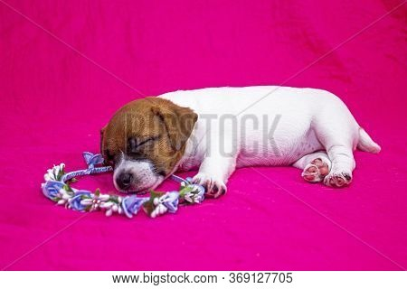 Fashionista Puppy Jack Russell Terrier Girl Sleeping On A Pink Coverlet On A Wreath Of Flowers. Glam