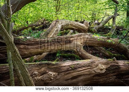 Dense Natural Forest In A National Park In Scania, Southern Sweden