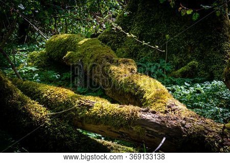 Dense, Lush, Green Forest With A Log On The Ground In National Park In Scania, Southern Sweden