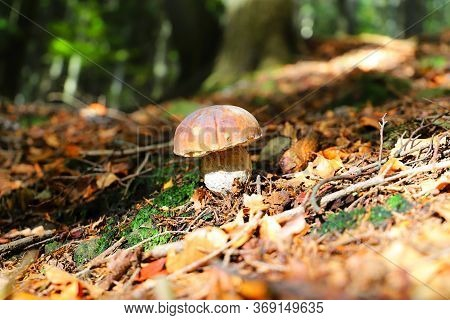 Boletus Edulis In The Moss And Ferns In The Oak Forest - The King Among Mushrooms