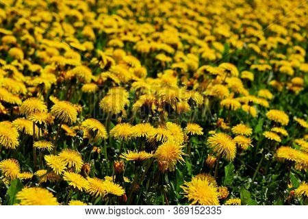 Nature Background. Medicinal Dandelion. Yellow Dandelion Flowers Close-up. Field Of Dandelions. Many