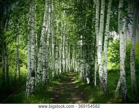 Young Birch Forest Background With A Trail. Young Birch Forest Background With A Trail. Path In The