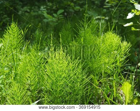 Forest Horsetail In The Shade Of Trees In Summer. Medicinal Plant Horsetail Forest And Field. Horset