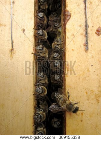 Winged Bee Slowly Flies To Beehive Collect Nectar On Private Apiary From Live Flowers. Apiary Consis