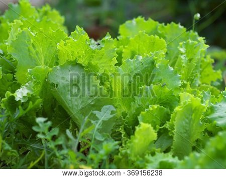 Lettuce Grows In The Open Ground In The Garden. Green Lettuce Leaves On Garden Beds In The Vegetable