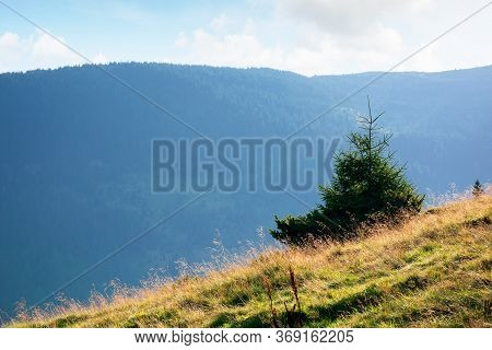 Spruce Trees On A Grassy Hill Of Romanina Mountains In Soft Morning Light. Beautiful Nature Scenery