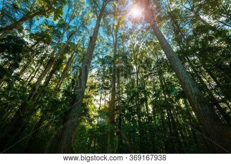 Tall High Pine Trees Forest Converging Skyward Retro Effect With Lens Flare.