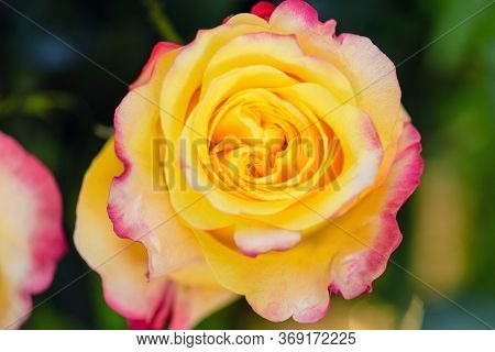 Macro Red Yellow Rose. Flower Beauty Red Yellow Colours. Spring Red And Yellow Rose Flower In The Ga