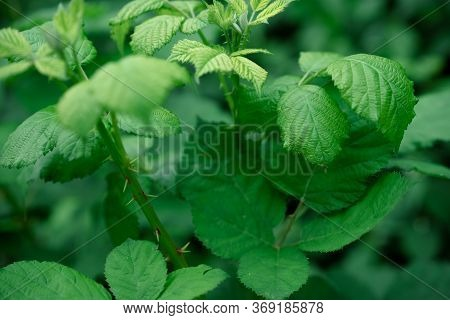 Shrub With Spikes And Green Leaves.shrub With Spikes And Green Leaves
