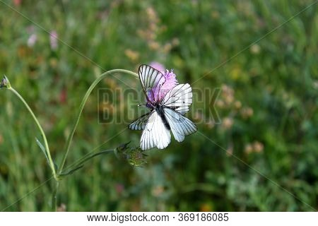 Hawthorn Butterfly Black-veined White On Lilac Flower Scabies Knautia Arvensis On Blurred Meadow Nat