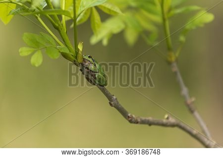 Hyla Arborea - Green Tree Frog On A Branch And On A Reed By A Pond. Tree Frog In Its Natural Habitat