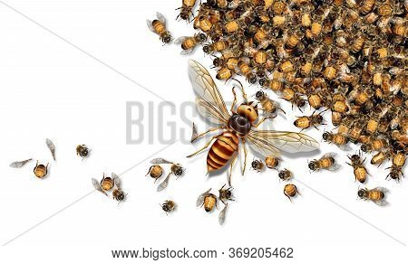 Giant Hornet Predator Attacking Bees As A Murder Hornet Or Asian Giant Insect That Kills Honeybees A