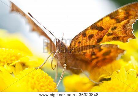 Timelaea Butterfly