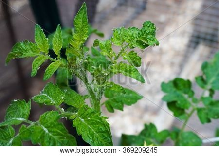 Pests Covering The Leaves Of A Tomato Plant In A Home Garden In Summer; Aphids